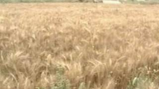 wheat Report  sukkur Imran malik Report