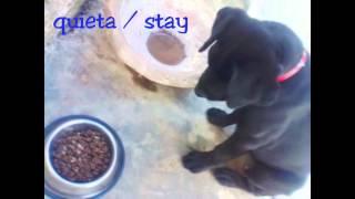 Cachorro Labrador Retriever Entrenado / Labrador Retriever Puppy Training