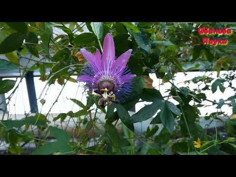Удивительное растение - пассифлора