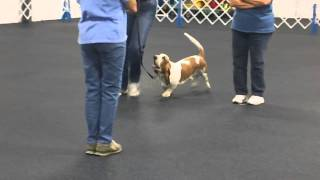 Basset Hound In Obedience Show Mah00001.mp4