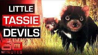 Saving the Tasmanian Devil   60 Minutes Australia