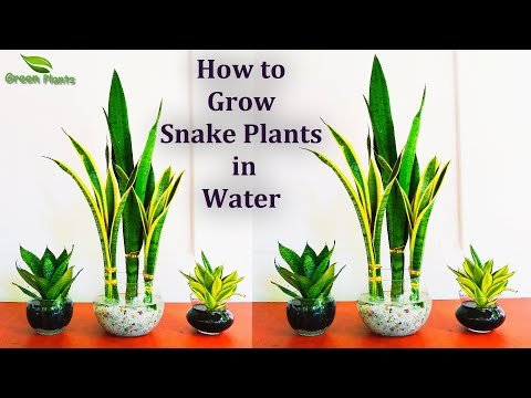 Snake Plants Growing In Water Snake Plants Indoor Decoration Snake