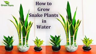Snake plants Growing in Water-Snake plants Indoor Decoration-Snake plants Leaf Cutting//GREEN PLANTS
