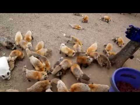 There's a fox farm in Japan, and it's all we can think about