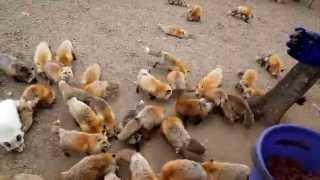 キツネがゲシュタルト崩壊してきた。。。U´エ`U Awwww...Swarms of foxes with extremely fluffy !!
