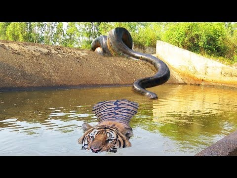 Big Cat Powerful Become Prey Of The Giant Anaconda - Wild An