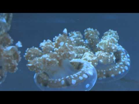 White-Spotted Jellies At The Aquarium