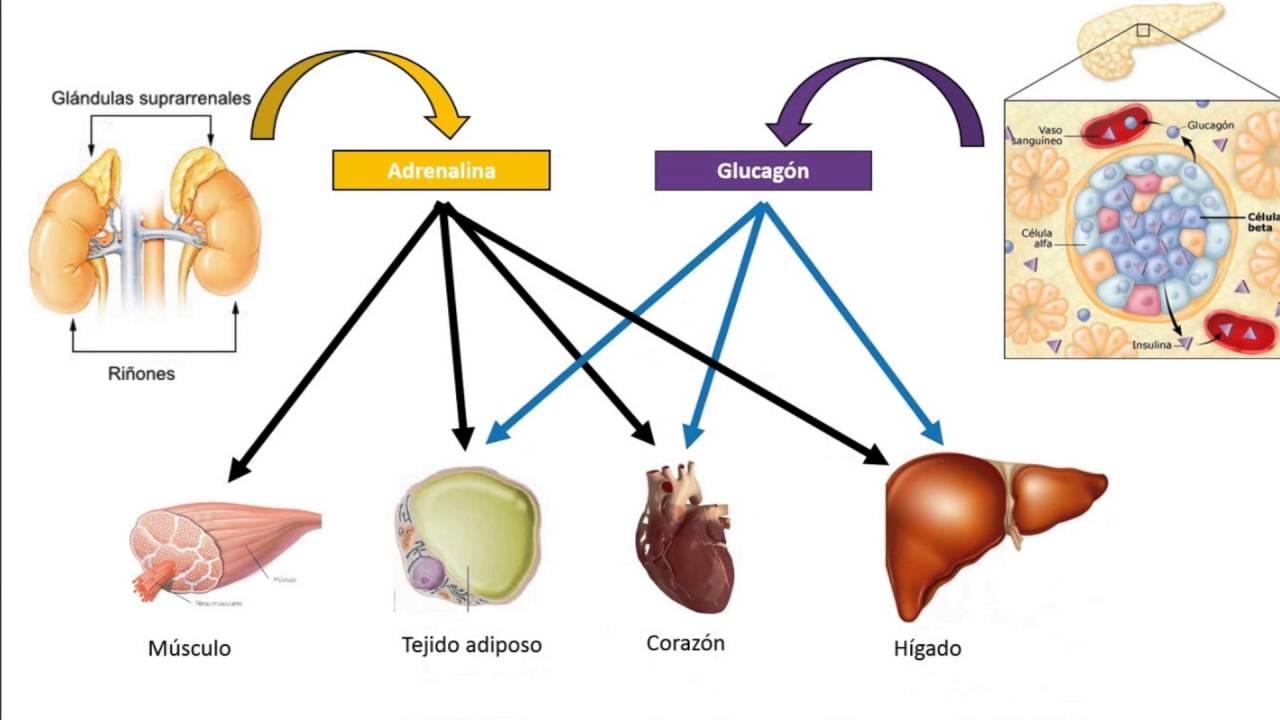 Regulación hormonal del metabolismo glucídico 1 de 3 - YouTube