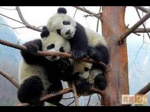 Thaiiptv : สวัสดีเมืองจีน : 熊猫 หมีแพนด้า