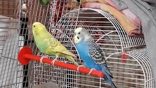 Попугаи. Уход за волнистыми попугаями