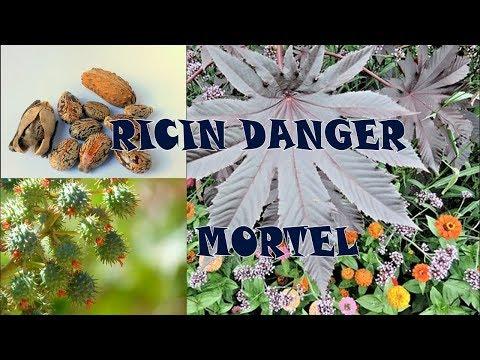 Graines de ricin danger