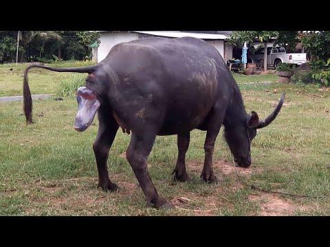 มาลุ้นกันกับควายคลอดลูก|ควายพันธุ์ไทยใหญ่ท้องแก่จะเบ่งแร่ะขยายสายพันธุ์ควายไทยใหญ่ baby buffalo thai