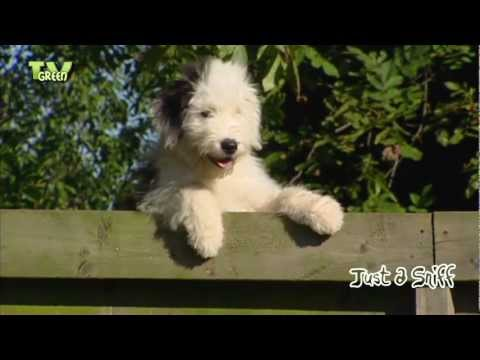 Just a Sniff - Old English Sheepdog - Bobtail #05