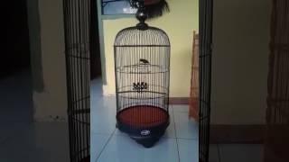 Burung murah tpi suara mewah