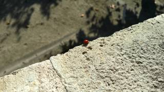 A Ladybug Goes for a Walk (4K)