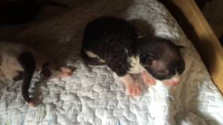 Сфинксы котята браш