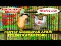 Pancingan Pentet Gacor Percaya Atau Tidak Pentet Ini Kesurupan Ayam  Mp3 - Mp4 Download