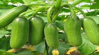 Top 8 easy to grow vegetable plants and seeds for beginners