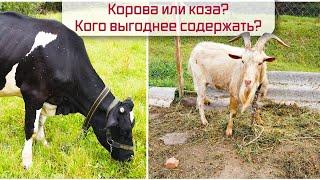 Фото Корова или коза Кого выгоднее содержать