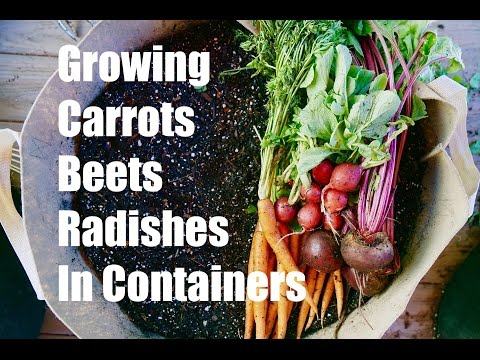 Growing Your Fall Garden # 3 - Growing Root Vegetables in Containers - Carrots, Radishes and Beets