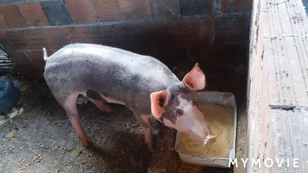 Download Como fazer os porcos crescerem rápido em 1 mês