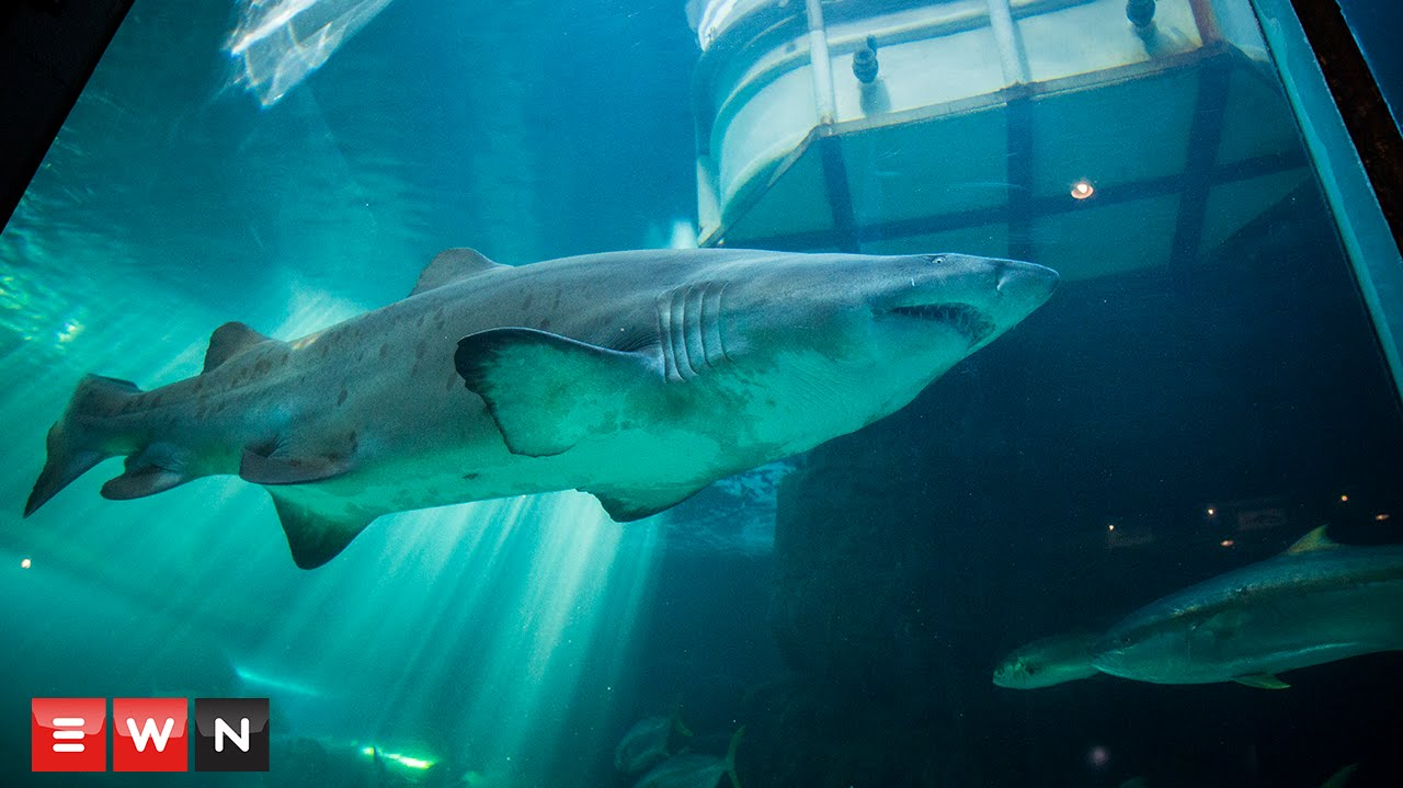 Watch sharks being removed from the Two Oceans Aquarium