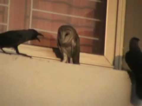 Owl Vs Crows