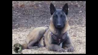 Бука - Бельгийская овчарка Малинуа