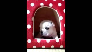 子犬のブリーダー直販支援サイト「子犬の窓口」 鈴木ブリーダーのフレン...