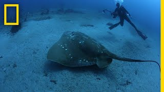 Largest Known Marine Stingray Study | National Geographic