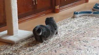 Кошка хочет кота Течка у кошки