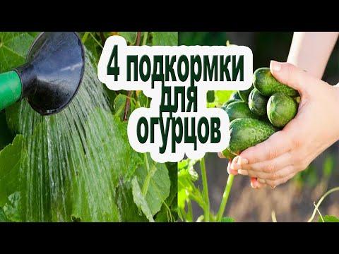 Чем подкормить огурцы / 4 этапа подкормки