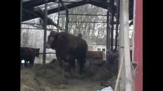 Jurny byk po 4 miechach celibatu  :D Horny Bull  TAnowo