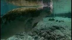 Le lamantin - Floride - mammifères marins