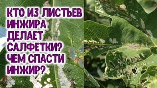 Кто из листьев инжира делает салфетки? Чем спасти инжир?