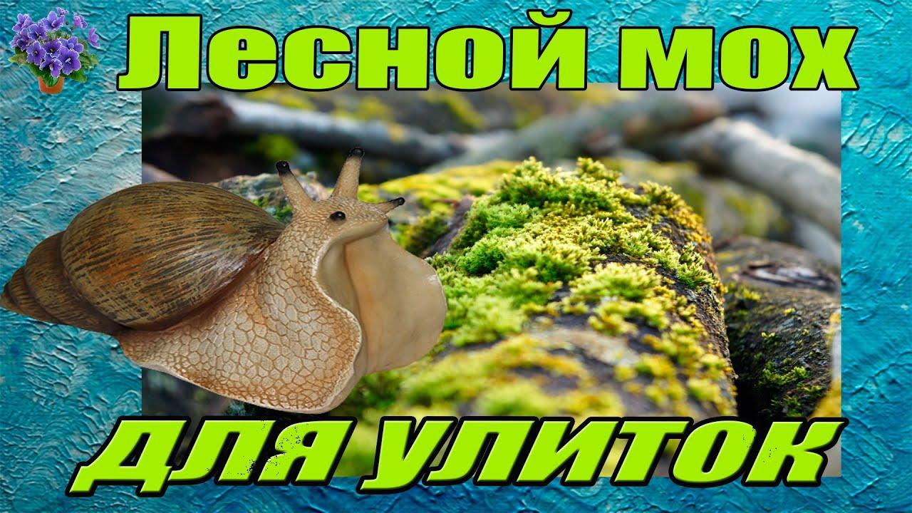 Лесной мох  для содержания гигантских улиток ахатин (аchatina ) и архахатин