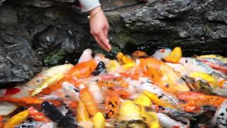 Koi fish at biggest Buddhist temple in Shanghai (day 8)