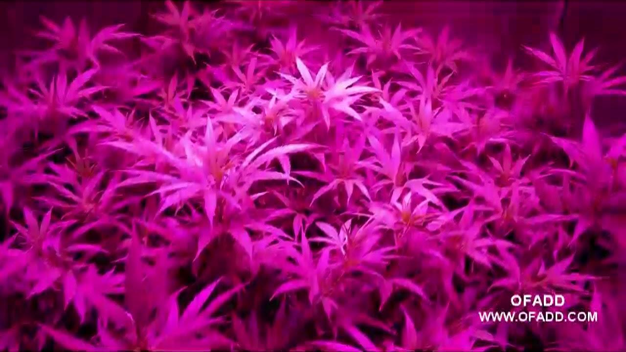LED Cannabis Grow Time Lapse - GROWING MARIJUANA WITH LED