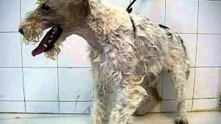 Terrier Beim Hundefrisör