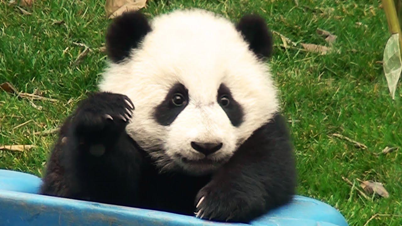 パンダ 赤ちゃん 中国