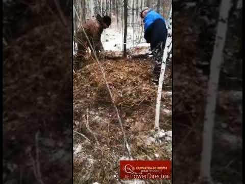 На Камчатке медведь съел подростка и покалечил его двоюродного брата (18+)