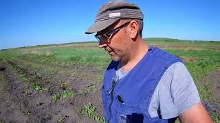 Посадка смородины весной. Моя цель-6000 кустов.
