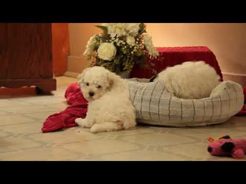 Mini Poodle Puppy For Sale