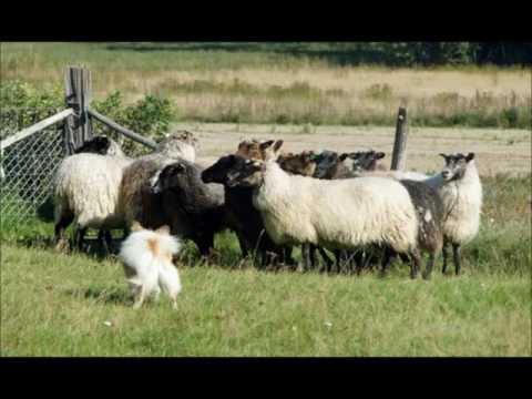 Icelandic Sheepdogs at Work