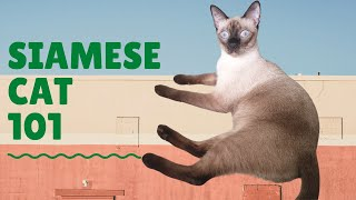 Siamese Cat 101: Facts and Fun Trivia