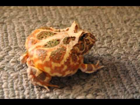 Angry Pacman Frog
