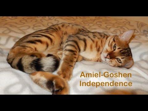 Egyptian Mau Amiel Goshen Independence