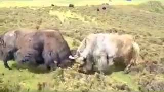 Tibetan Yak fight!!