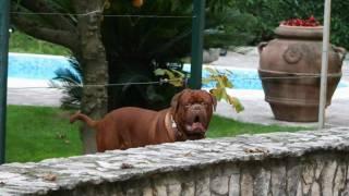 Omaggio Al Dogue De Bordeaux,la Razza Perfetta