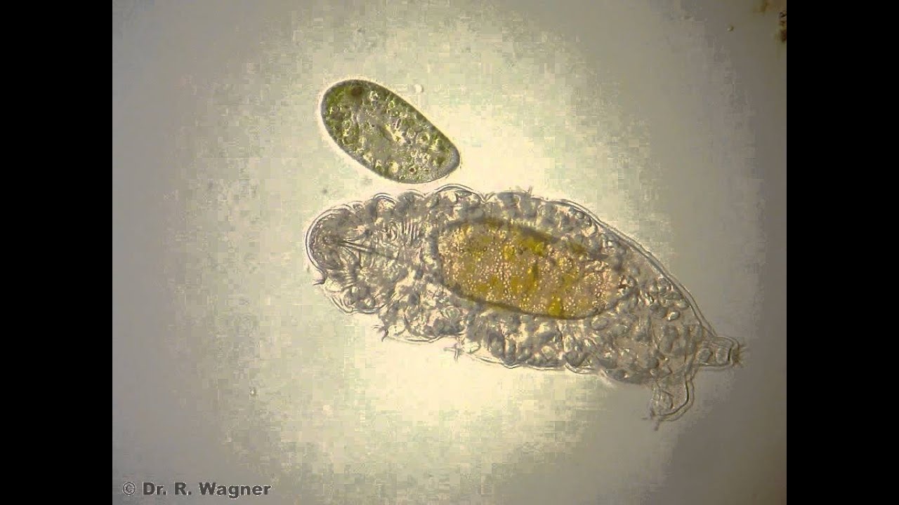 Water bear (Tardigrade) meets Paramecium - YouTube Water Bear Size Comparison